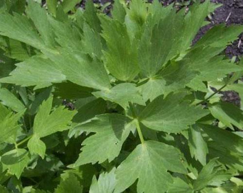 Листья любастика. Колдовские травы.
